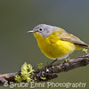 Nashville Warbler from the backyard in Castlegar, May 2011