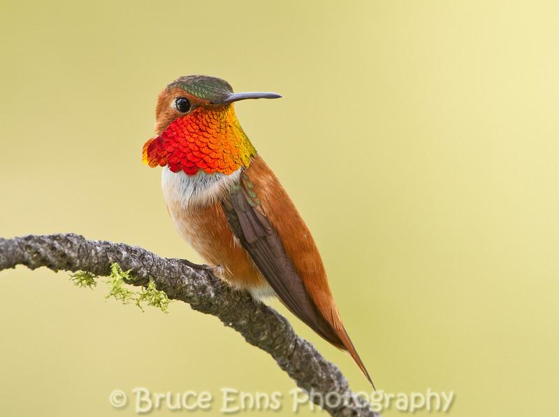 Rufous Hummingbird male, Castlegar, May 2011