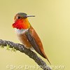 Rufous Hummingbird male, Castlegar, May 2011