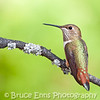juvenile male Rufous Hummingbird from my backyard.