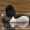 Ring-necked Duck drake - King's Pond, Victoria, February 2013
