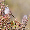 A couple of White-crowned Sparrows keep an eye on me from a bear berry bush in the backyard.