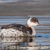 Horned Grebe in non-breeding plumage, Okanagan lake waterfront near Brandt's Marsh, Kelowna