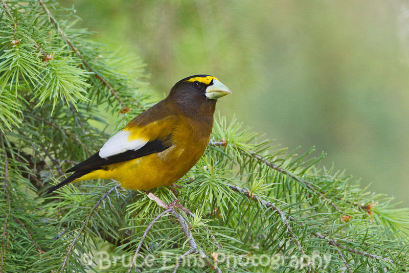 Evening Grosbeak male, Castlegar, May 2011