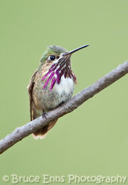 The recently deposed dominant hummingbird from my backyard. Calliope Hummingbird