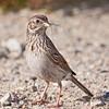 Vesper Sparrow gathering nesting materials