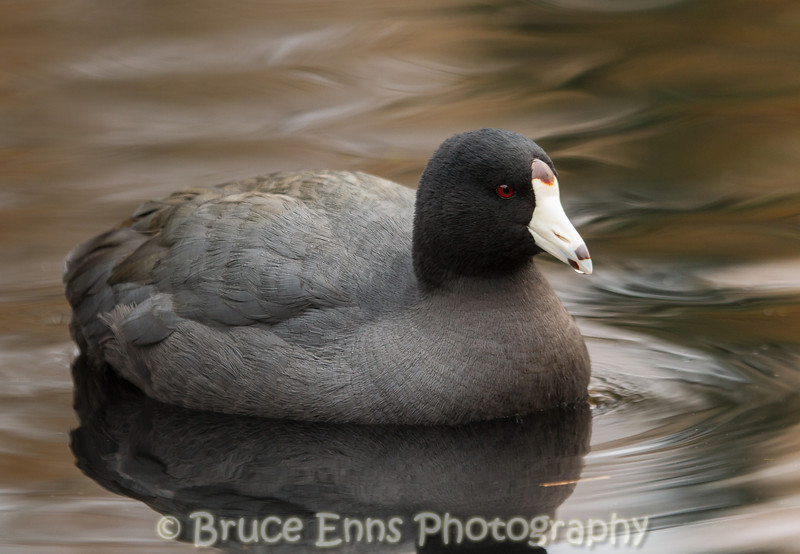 American Coot - King's Pond, Victoria, February 2013