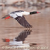 Common Merganser male lift-off, Zuckerberg Island pond, Castlegar