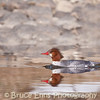 Common Merganser female, Zuckerberg Island, Castlegar