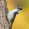 Downy Woodpecker with Western Larch and Mountain Ash fall colour background - Castlegar, Oct 2012