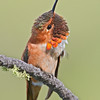 Rufous Hummingbird scratch, Castlegar, May 2011
