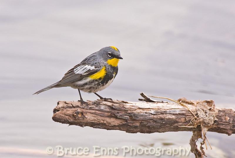 Yellow-rumped Warbler, Audubon population, Ok Falls campground, Okanagan Falls, British Columbia, 2008