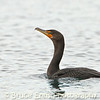 Double-crested Cormorant on the ocean, Victoria waterfront in February, 2012