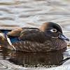 Female Wood Duck, King's Pond, Victoria, Feb 2012