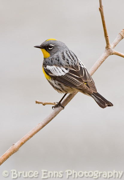 Yellow-rumped Warbler, Audubon population, Ok Falls campground, Okanagan Falls, British Columbia, 2008