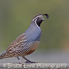 California Quail posing on a fence rail near Westbank, in the Okanagan Valley in BC