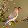 Cedar Waxwing with Pyracantha berry from my backyard