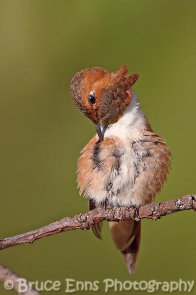 Rufous Hummingbird preening, Castlegar, BC