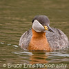 Red-necked Grebe from near Okanagan Falls Provincial Park campground, British Columbia