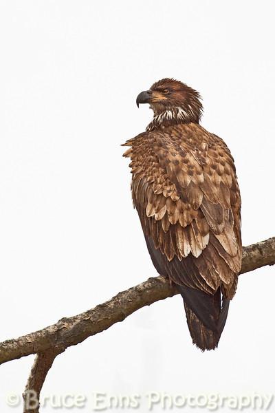 Juvenile Bald Eagle near Pass Creek, Robson BC