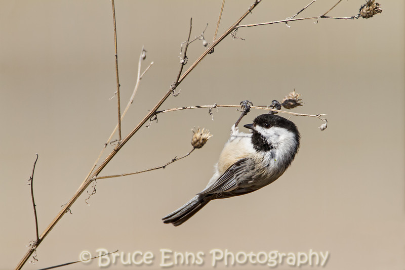 Balck-capped Chickadee feeding on Spotted Knapweed seeds