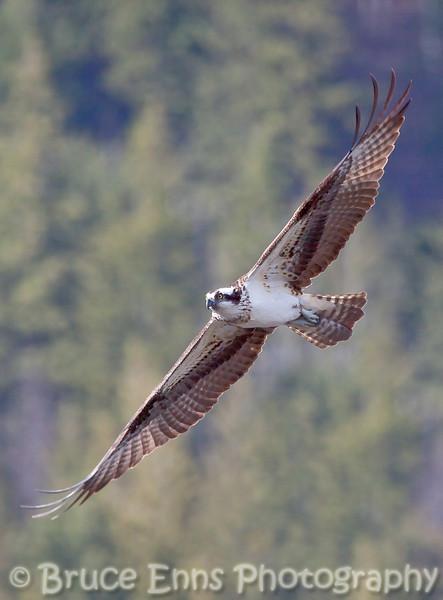 Osprey in flight at Taghum bridge near Nelson BC