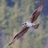 Osprey in flight at Taghum bridge near Nelson BC
