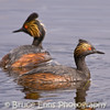 Eared Grebe, pair (female in front), Elizabeth Lake Nature Sanctuary, Cranbrook, BC, 2007