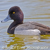 Lesser Scaup male, Reifel Bird Sanctuary, near Vancouver, British Columbia, 2008