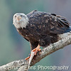 Bald Eagle with fish, Robson BC