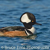 Male Hooded Merganser on the ocean, Victoria waterfront, Clover Point, Feb 2012