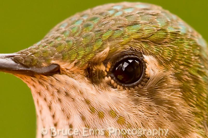 Rufous Hummingbird female, face detail, Castlegar, British Columbia, 2008.