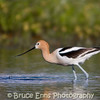 American Avocet, Elizabeth Lake Nature Sanctuary, Cranbrook, BC, 2008