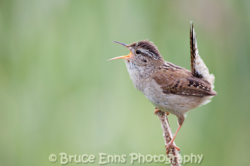 A Marsh Wren belts out his song on an old Typha stalk at Swan Lake Nature Sanctuary in Victoria BC.
