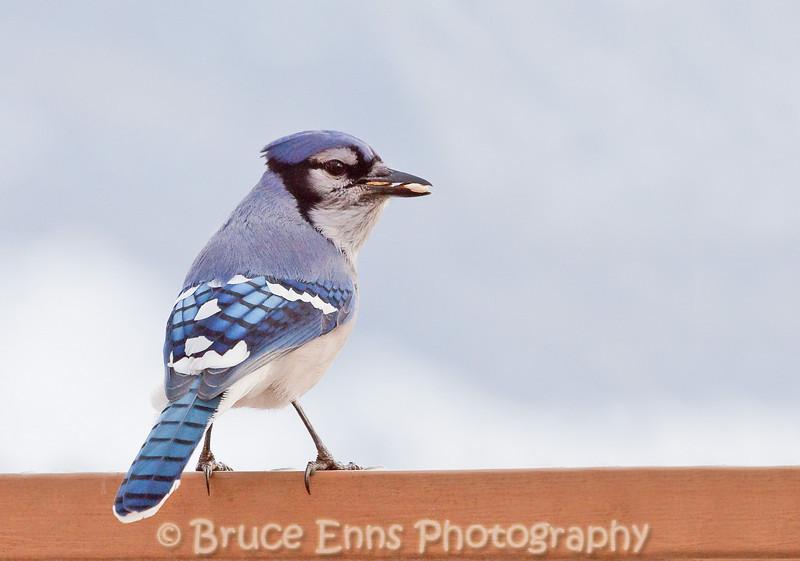 Blue Jay, Castlegar, British Columbia