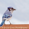 Blue Jay, Castlegar, British Columbia