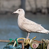 Glaucous Gull, 2cy