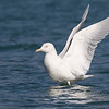 Glaucous Gull, adult