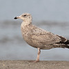 American Herring Gull, 2cy