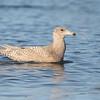 Glaucous Gull or hybrid, 2cy