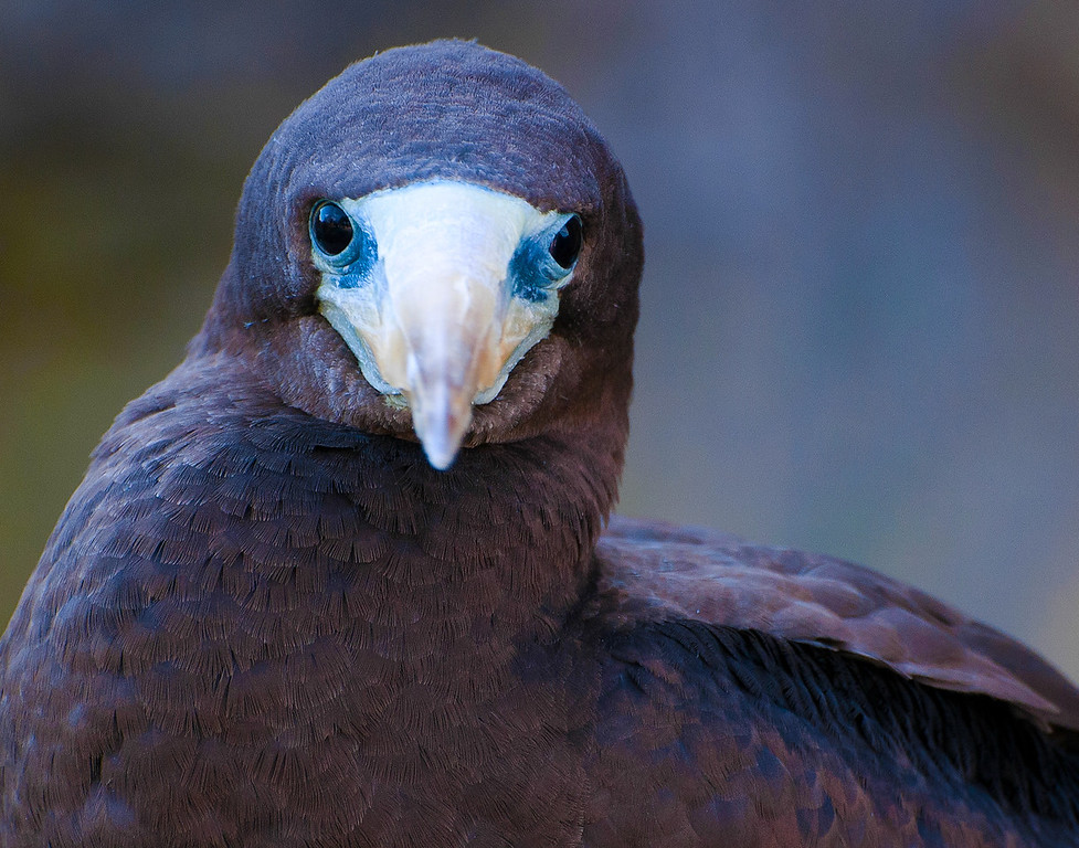 Brown Booby