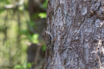 0U2A6523Brown Creeper