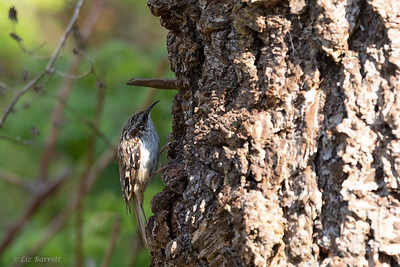 0U2A6469Brown Creeper
