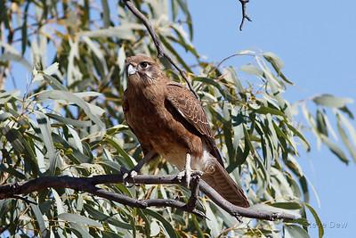 Brown Falcon - Light Morph