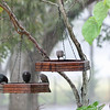 "View this photo while playing ""Raindrops Keep Falling on My Head"" by B. J. Thomas!<br /> Male and Female Brown-Headed Cowbirds feeding in the rain"