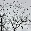 Brown-Headed Cowbirds leaving the pecan tree