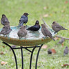 Pierre and Philippe meet the young chicks at the water cooler!<br /> Uh-oh!  Here they are!  Male and female Brown-Headed Cowbirds during Fall migration at the birdbath!