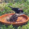 Joe, the male Brown-Headed Cowbird getting splashed by Mavis, the female Brown-Headed Cowbird.