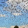 Brown-Headed Cowbirds <br /> Laurens County