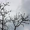 Huge flock of Brown-Headed Cowbirds